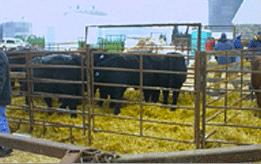 Cattle Panels